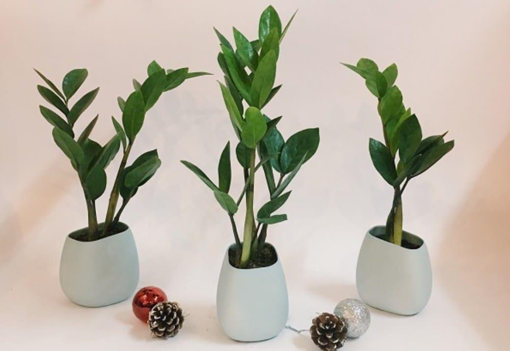 Trên bàn làm việc nên để cây gì vừa đẹp vừa mang lại may mắn?